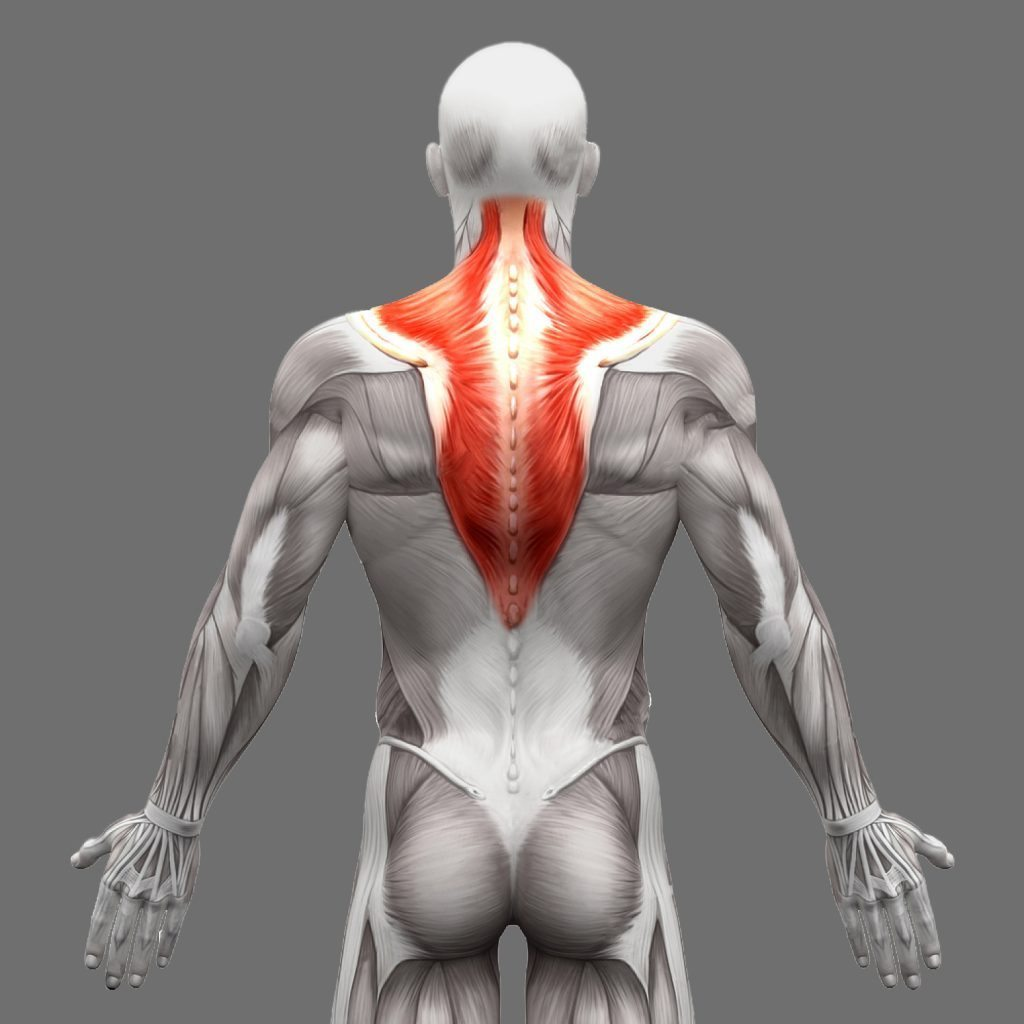 stock photo trapezius anatomy muscles isolated on white d illustration