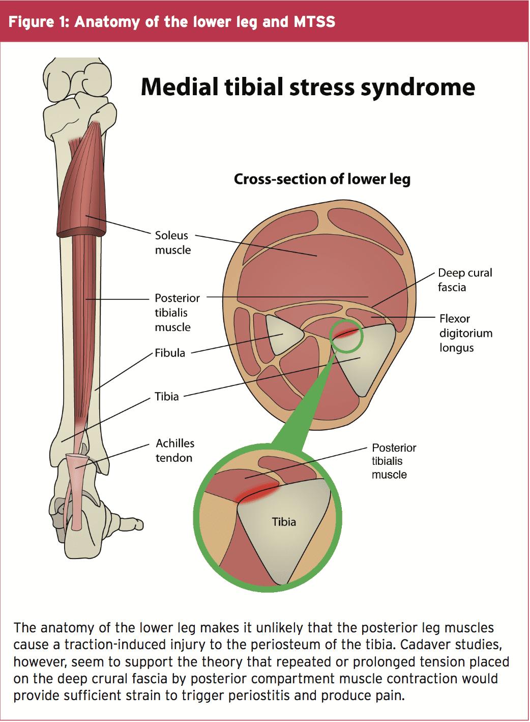 Ziemlich Shin Muskeln Anatomie Galerie - Menschliche Anatomie Bilder ...