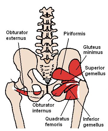 Músculos de la Cadera Posterior piriformis el paso tx