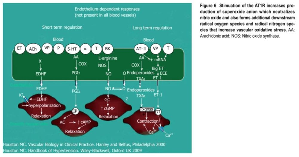 Endothelium-Dependent Responses