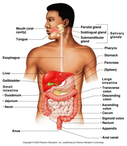 Digestive System Anatomy Diagram | Wellness Clinic
