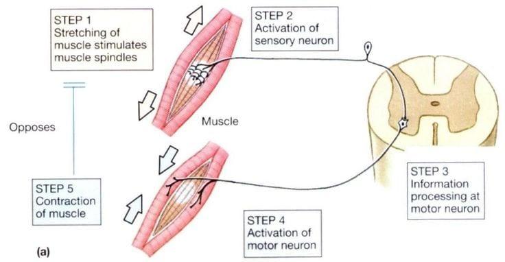 Mechanics of Stretching Diagram 1   El Paso, TX Chiropractor
