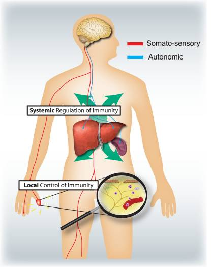 Figure 4 Sensory and Autonomic Nervous Systems | El Paso, TX Chiropractor