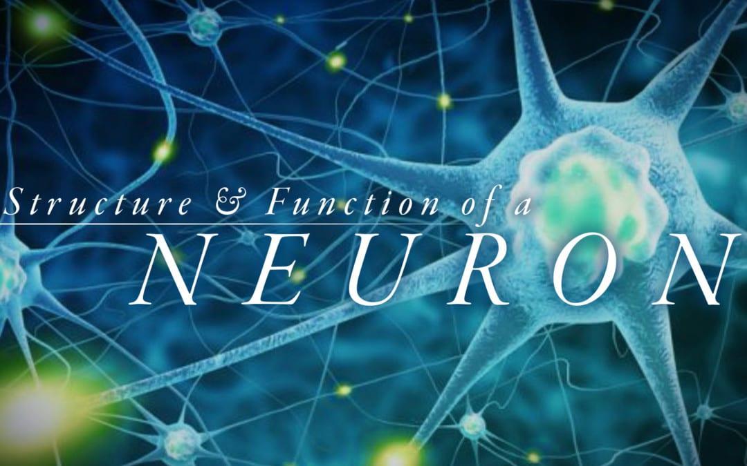 Comprensione della struttura e della funzione di un neurone